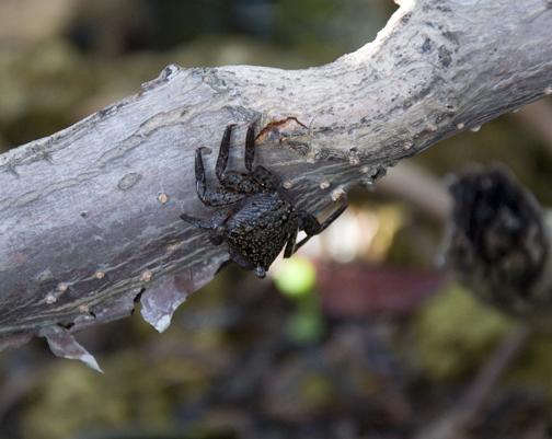 Mangrove Tree Crabs