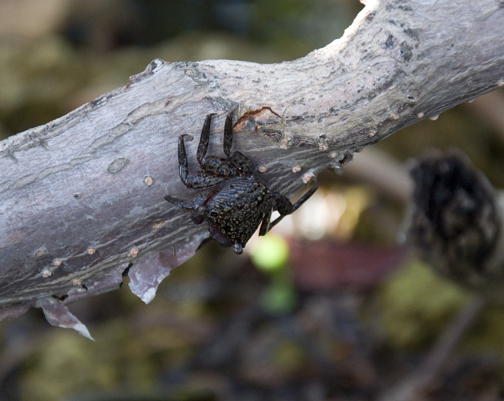 Mangrove Tree Crabs